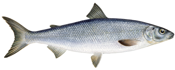 Hundreds of whitefish found dead in yellowstone river for Whiting fish picture